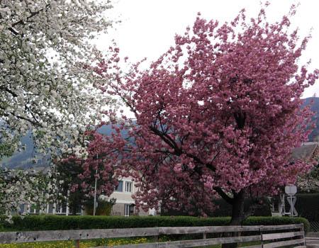 Blüten-Bäume
