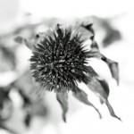 vertrocknete Herbstblume